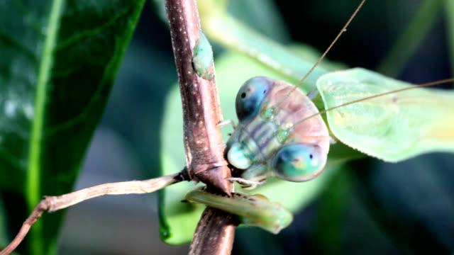 Chinese mantis eating walkingstick