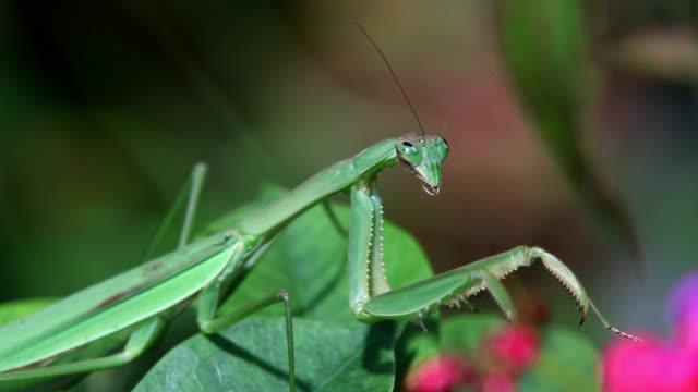 vídeos de stock, filmes e b-roll de chinese mantis hunting - camuflagem