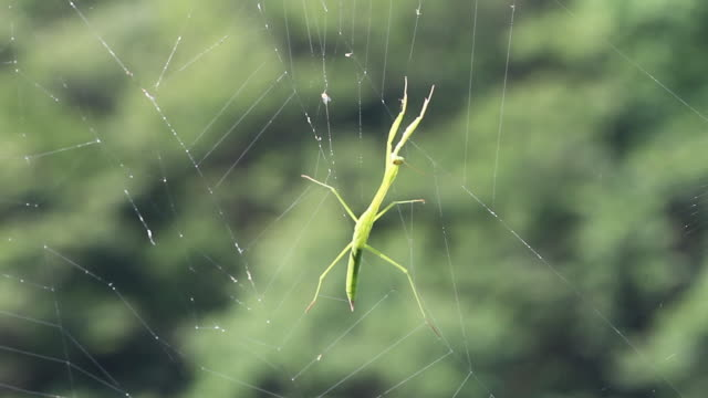 chinese mantis trapped in the web of spider - tier in gefangenschaft stock-videos und b-roll-filmmaterial
