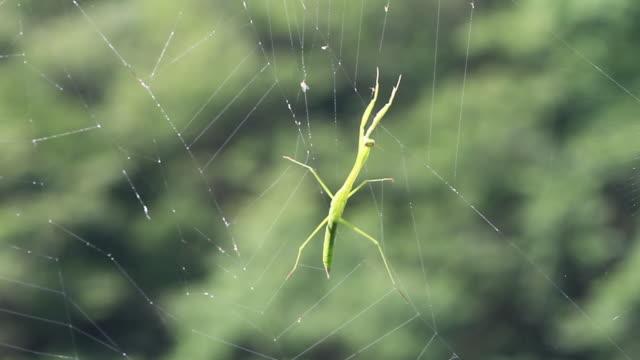 vídeos de stock, filmes e b-roll de chinese mantis trapped in the web of spider - parte do corpo animal