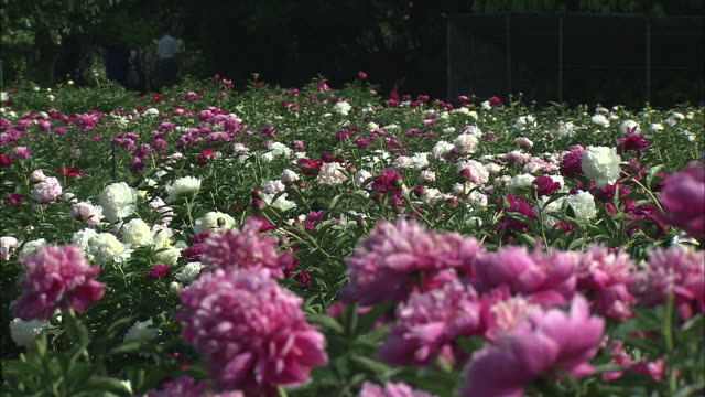 chinese peonies (paeonia lactiflora) as far as the eye can see - chinese herbal medicine stock videos and b-roll footage