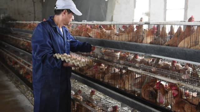 chinese poultry hatchery, china. - poultry stock videos & royalty-free footage