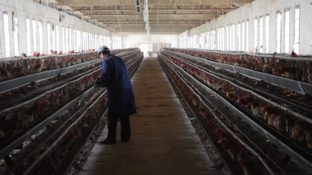 chinese poultry hatchery, china. - slaughterhouse stock videos & royalty-free footage