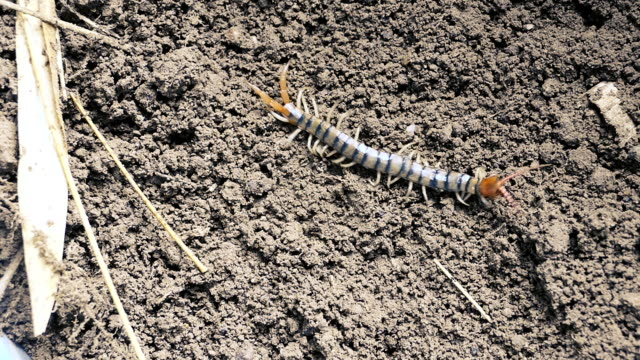 chinesische rote kopf centipede. asiatische wald centipede. big millipede in thailand auf dem boden. - hundertfüßer stock-videos und b-roll-filmmaterial