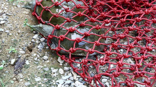 chinese soft-shelled turtle - fishing net stock videos & royalty-free footage