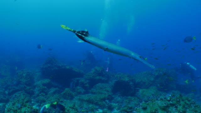 海底のサンゴ礁、ガラパゴスで水泳中国 trumpetfish - チャールズ・ダーウィン点の映像素材/bロール