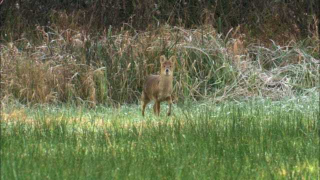 chinese water deer (hydropotes inermis) in fenland, cambridgeshire, uk  - fen stock videos and b-roll footage