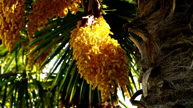 Chinesische Windmühle palm in bloom