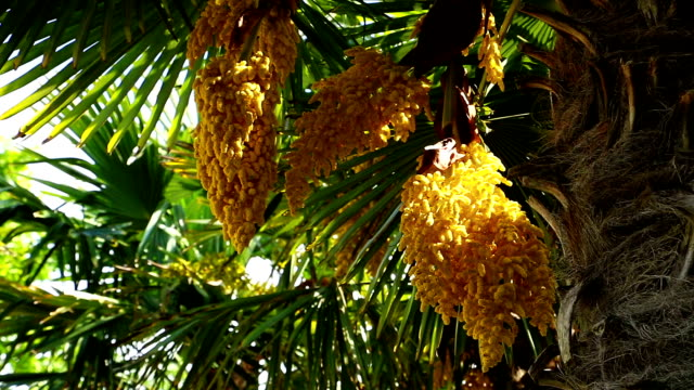 chinese windmill palm in bloom - fan palm tree stock videos & royalty-free footage