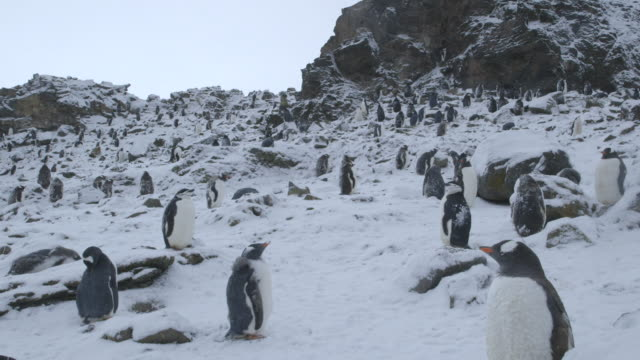 ms chinstrap and gentoo penguin colony / antarctica peninsular, antarctica - gentoo penguin stock videos and b-roll footage
