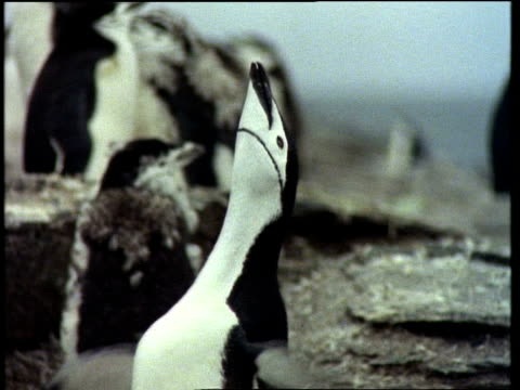 cu chinstrap penguin calling, with head back and wings flapping, antarctic - animal call stock videos & royalty-free footage