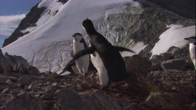 chinstrap penguin calls and steals rocks from its neighbour's nest. available in hd. - diving flipper stock videos & royalty-free footage