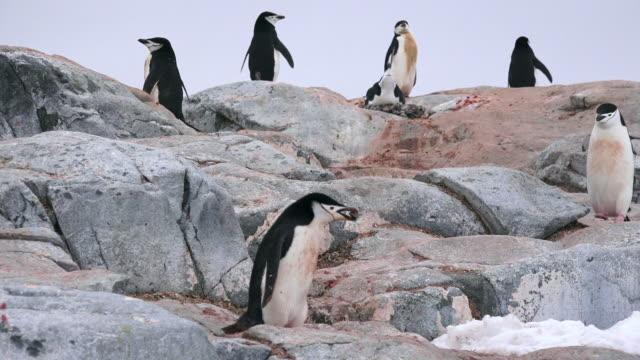 Chinstrap Penguin carrying pebble to nest, Hydrurga Rocks, Antarctic Peninsula, Southern Ocean