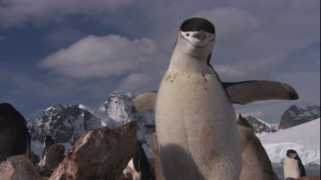chinstrap penguin chases neighbour away from its nest. available in hd. - diving flipper stock videos & royalty-free footage