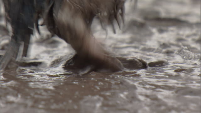 chinstrap penguin (pygoscelis antarctica) chick walks in thick mud - antarctica penguins stock videos & royalty-free footage