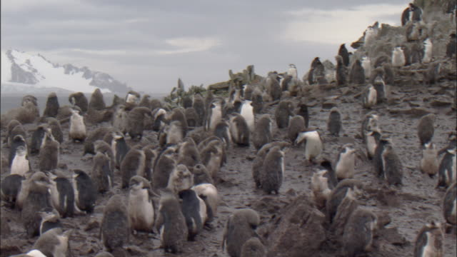 vidéos et rushes de chinstrap penguin (pygoscelis antarctica) colony, moulting chicks and adults stand in thick mud - antarctique