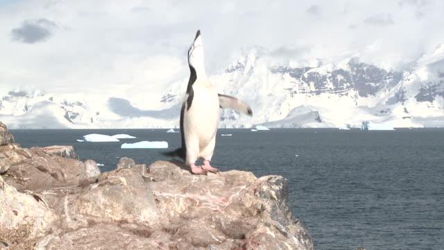 Chinstrap penguin (Pygoscelis antarcticus) displays on rock.  Orne Island. Antarctic peninsula