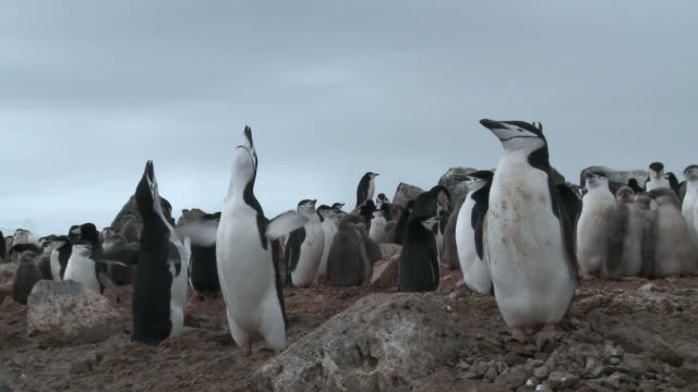 Chinstrap penguin (Pygoscelis antarcticus) ecstatic display at edge of colony. Penguin Island, Antarctica