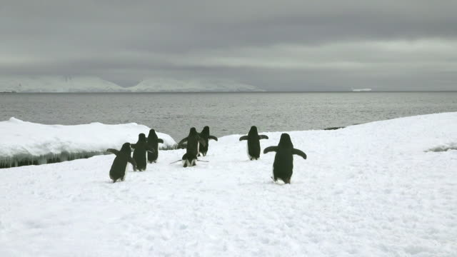 vidéos et rushes de chinstrap penguin group heading off to the sea, hydrurga rocks, antarctic peninsula, southern ocean - manchot