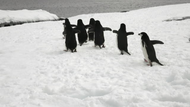 Chinstrap Penguin group heading off to the sea, Hydrurga Rocks, Antarctic Peninsula, Southern Ocean