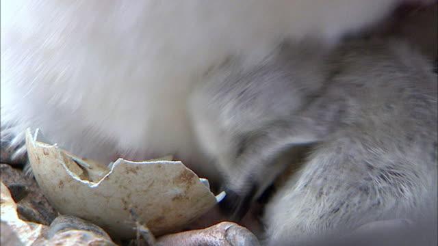 Chinstrap Penguin hatching