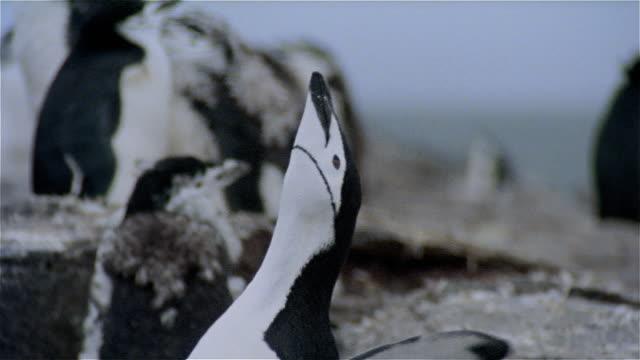 vidéos et rushes de cu, chinstrap penguin, headshot, antarctica - pôle sud