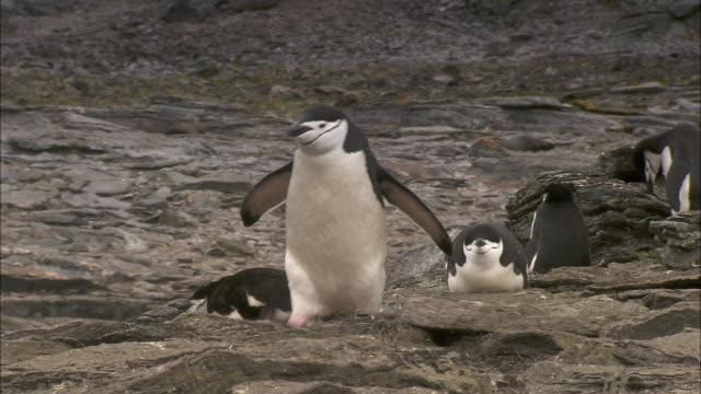 a chinstrap penguin hops over rocks on signy island.  - mittelgroße tiergruppe stock-videos und b-roll-filmmaterial