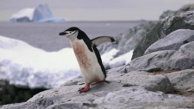 Chinstrap Penguin jumping down rocks, Hydrurga Rocks, Antarctic Peninsula, Southern Ocean