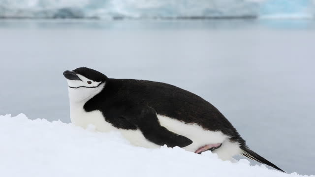 chinstrap penguin lying on snow, itching and yawning - reclining stock videos and b-roll footage