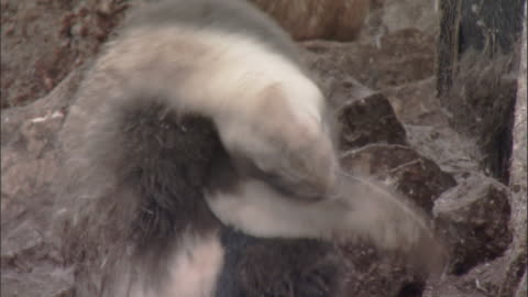 chinstrap penguin (pygoscelis antarctica) moulting chick preens - small group of animals stock videos & royalty-free footage