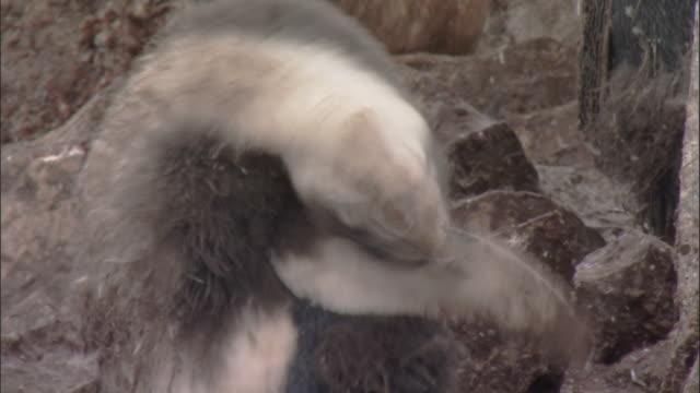 vídeos y material grabado en eventos de stock de chinstrap penguin (pygoscelis antarctica) moulting chick preens - grupo pequeño de animales