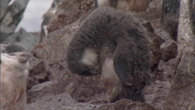 chinstrap penguin (pygoscelis antarctica) moulting chick preens - medium group of animals stock videos & royalty-free footage