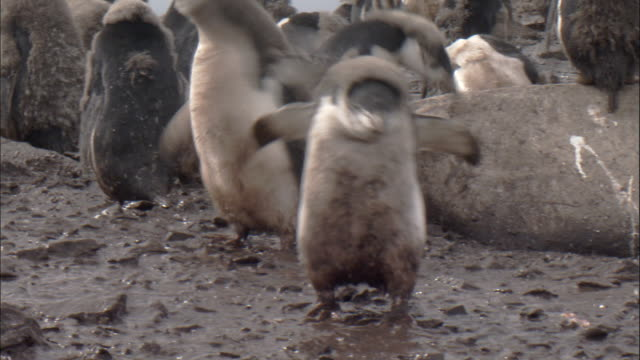 chinstrap penguin (pygoscelis antarctica) moulting chick walks in thick mud then defecates - defecating stock videos and b-roll footage