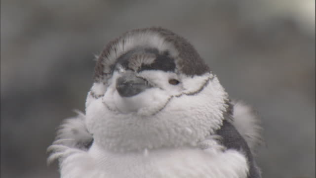 Chinstrap penguin (Pygoscelis antarctica) moulting chicks preens