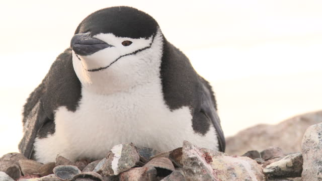 Chinstrap penguin (Pygoscelis antarcticus) on nest.  Hydrurga rocks. Antarctic peninsula