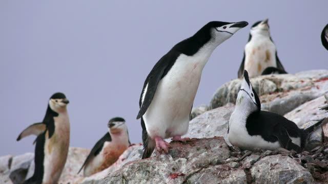 Chinstrap Penguin pair at nest, Hydrurga Rocks, Antarctic Peninsula, Southern Ocean