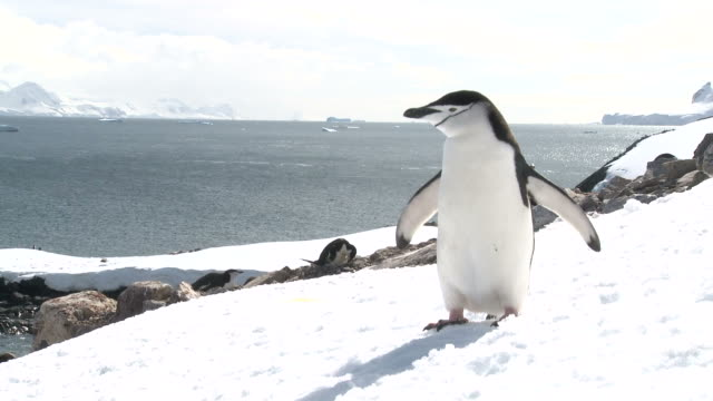 chinstrap penguin (pygoscelis antarcticus) portrait on snow.  orne island. antarctic peninsula - ペンギン点の映像素材/bロール