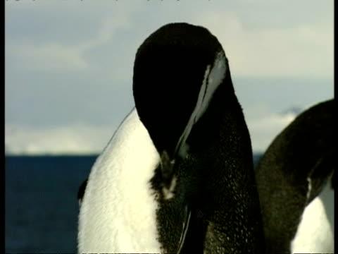 vidéos et rushes de cu chinstrap penguin, pygoscelis antarcticus, grooming itself, antarctica - se lisser les plumes