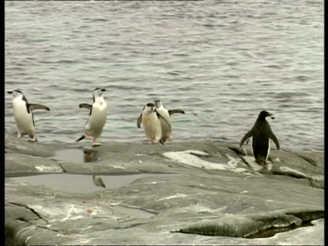 wa chinstrap penguin, pygoscelis antarcticus, waddling on rocks near water, antarctica - waddling stock videos & royalty-free footage