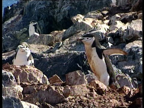 ms chinstrap penguin, pygoscelis antarcticus, with dirty belly carrying twig for nest, antarctica - twig stock videos & royalty-free footage