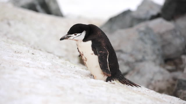 Chinstrap Penguin repetitively eating snow