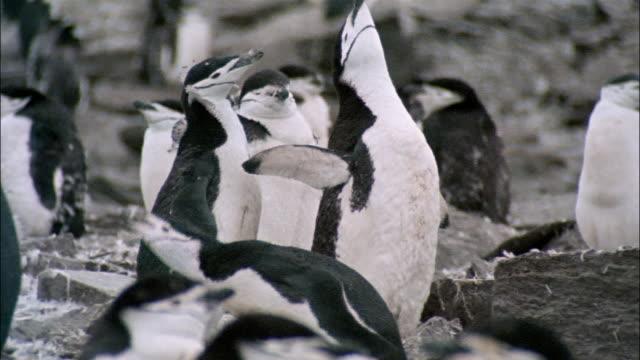 vidéos et rushes de ms, chinstrap penguin, signy island, south orkneys - oiseau qui ne vole pas