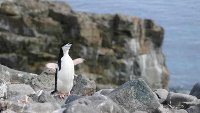 chinstrap penguin standing on cliff edge - shaking stock videos & royalty-free footage