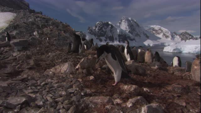 vidéos et rushes de chinstrap penguin steals rocks from neighbour's nest in south georgia, antarctica. available in hd. - île de la géorgie du sud