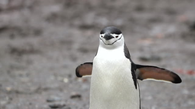 chinstrap penguin waddling towards camera - waddling stock videos and b-roll footage