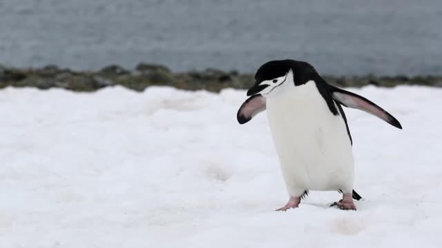 vídeos y material grabado en eventos de stock de chinstrap penguin walking and jumping up a snow hill - pingüino