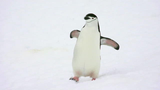 chinstrap penguin walking on snow, hydrurga rocks, antarctic peninsula, southern ocean - penguin stock videos & royalty-free footage