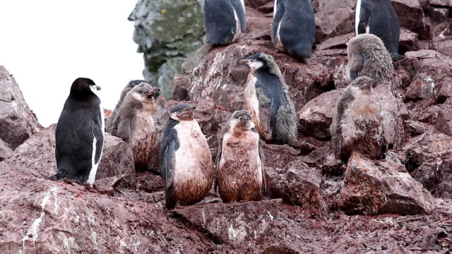 vidéos et rushes de chinstrap penguins, all very dirty and covered in guano standing in a colony - antarctique