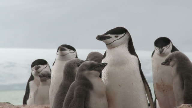 Chinstrap penguins (Pygoscelis antarcticus) and well grown chicks.   Penguin island, South Shetlands