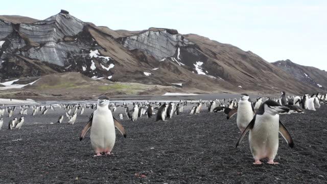 chinstrap penguins cover the beach on deception island, antarctica. - flightless bird stock videos & royalty-free footage
